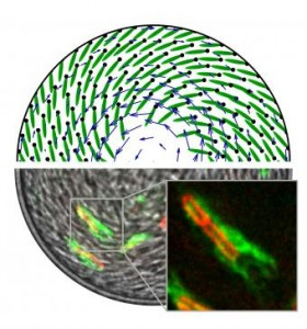 A mysterious vortex in theory and observation. Dyes of different colors on the bodies and flagella of bacteria allowed researchers to determine the direction of their swimming. Direct observation confirmed a computer simulation of bacteria swimming in opposite directions within a water drop. Image credit: Brown University and Cambridge University