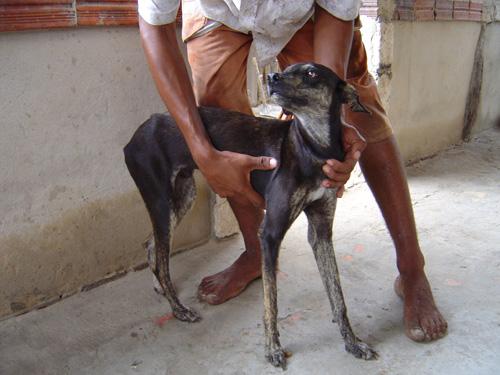 Mit Leishmanien infizierter und stark abgemagerter Hund –die Haustiere fungieren als sogenannte Reservoirwirte. Image credit: © Senckenberg