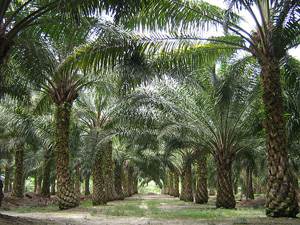Oilpalm. Image credit: Craig (Source: Wikipedia)