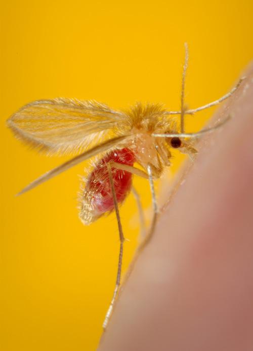 Nur wenige Millimeter groß, aber eine potentielle Gefahr für Mensch und Tier: Die Sandmücke gibt es jetzt auch in Hessen. Image credit: © CDC F. Collins