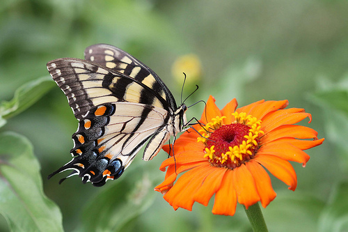 Tiger Swallowtail butterfly (Image credit: John Flannery.  Source: Flickr)