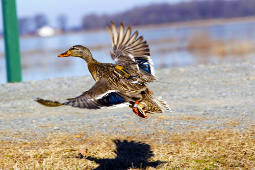 A mallard duck flies off with a tracking device attached to its back. Image credit: Mike Wintroath, Arkansas Game and Fish Commission.