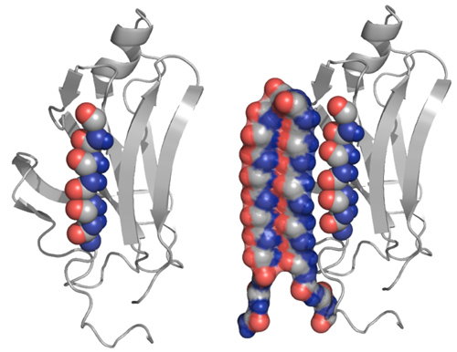 An abnormal protein, left, is intercepted by the UW's compound that can bind to the toxic protein and neutralize it, as shown at right. Image credit: U of Washington