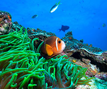 New research shows that as babies clownfish sometimes travel hundreds of kilometres across the open ocean. Image credit: University of Exeter