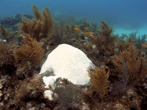 """No, that is not a mound of snow sitting on a coral reef – it is a colony of bleached """"brain coral"""" on a reef off of Islamorada, Florida. Hard and soft corals are presently bleaching- losing their symbiotic algae – all over the coral reefs of the Florida Keys due to unusually warm ocean temperatures this summer. Months with waters warmer than 85 F have become more frequent in the last several decades compared to a century ago, stressing and in some cases killing corals when temperatures remain high for too long. Image credit: Kelsey Roberts, USGS"""