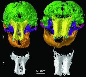 CT images showing a side-by-side comparison of skulls from Lyuba (left) and Khroma, with bones of the front of the skull shown below. Image credit: University of Michigan Museum of Paleontology (Click image to enlarge)