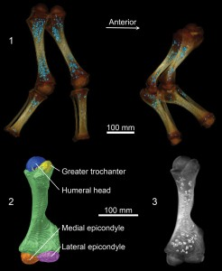 CT images showing Lyuba's hind legs (top left) and front legs (top right). Bone shafts that are already well-hardened are white, and poorly mineralized ends of bones are brown. Blue dots within leg bones represent an iron phosphate mineral that follows the location of iron stores related to hemoglobin production while the calf was alive. Bottom images show Lyuba's developing left humerus, or upper arm bone. Reflective spheroids on lower right image show location of iron phosphate mineral in this bone. Image credit: University of Michigan Museum of Paleontology (Click image to enlarge)