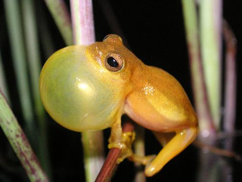 Der kleine Laubfrosch ist stimmgewaltig – auch die unterschiedlichen Rufe deuten auf verschiedene Arten hin. Image credit: © Martin Jansen/Senckenberg