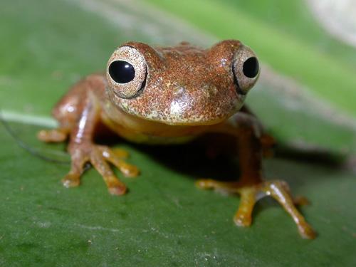 Den Laubfrosch Dendropsophus minutus findet man von Venezuela im Norden bis rgentinien im Süden. Image credit: © Frank Glaw/Zoologische Staatssammlung München