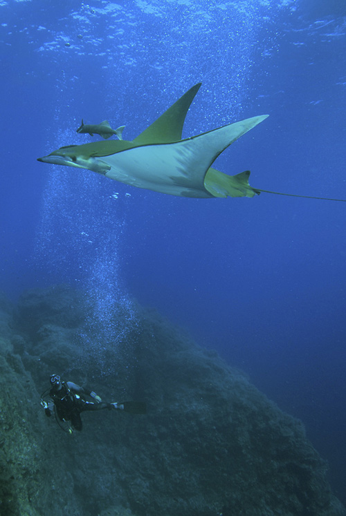 Devil rays, which can grow as large as four meters (13 feet) across, are ocean nomads traversing large areas of the ocean. Photo credit: Jorge Fontes, Institute of Marine Research, and Laboratory of Robotics and Systems in Engineering and Science