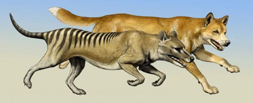 A generalist predator. Unlike most modern-day predators, the extinct thylacine (foreground) may not have had a specialized hunting behavior, according to an analysis of its anatomy. Ancient Australia did not have a great variety of predators, so the thylacine was not under competitive pressure to specialize. Image credit: Carl Buell