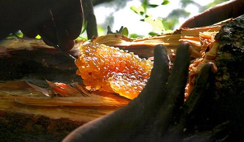 Man harvesting kanowa (stingless bee) honey. Image credit: Yale University