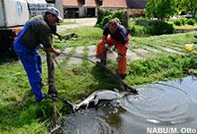 Der NABU beteiligt sich an dem nationalen Wiederansiedlungsprojekt durch die Aufzucht von zukünftigen Elterntieren. Image credit: NABU.de