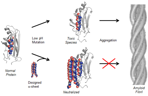In this diagram, a normal protein begins to convert into a toxic, intermediate state (above center). The UW's compound can bind with the toxic species and neutralize it (below center), preventing amyloid fibrils from forming. Image credit: U of Washington