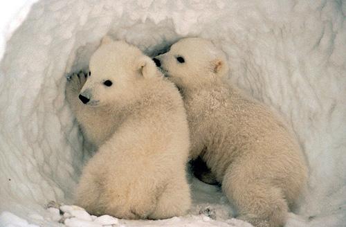 Polar Bear (Ursus maritimus) cubs. Photo credit: U.S. Fish and Wildlife Service (Source: Wikipedia)