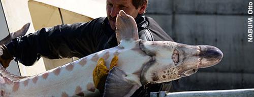 Überfischung, Gewässerverschmutzung und -verbauung rotteten ihn Ende des 19. Jahrhunderts aus. Nun wird der Baltische Stör - hier ein Elterntier - wieder angesiedelt. Image credit: NABU.de
