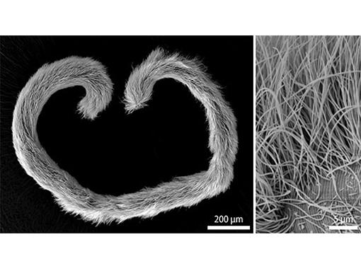 Rasterelektronenmikroskopische Aufnahme eines Eubostrichus dianeae Wurms (links). Sein Fell besteht aus fadenförmigen bakteriellen Zellen, wobei jede Zelle nur mit einen Ende auf der Oberfläche des Wurms befestigt ist (rechts). Image credit: Universität Wien