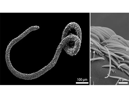 Rasterelektronenmikroskopische Aufnahme eines Eubostrichus fertilis Wurms (links). Die sichelförmigen bakteriellen Zellen sind auf seiner Oberfläche wie Schichten einer Zwiebel angeordnet (rechts). Image credit: Universität Wien