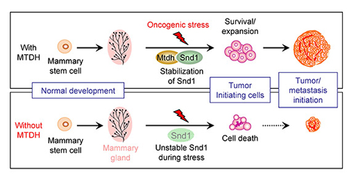 The figure depicts the role of MTDH and SND1 interaction in breast tumor initiation. Under stress conditions during the formation of tumors (top), MTDH interacts with SND1 and protects it from degradation. This allows cancer stem cells, the root of tumors, to survive and expand, eventually giving rise to large tumors. When MTDH was genetically deleted (bottom), the normal development of mammary glands was unaffected. However, without the interaction with MTDH, SND1 becomes unstable under oncogenic stress and is no longer able to support cancer stem cells. These cells undergo stress-induced cell death and lose the ability to initiate tumors. (Image courtesy of Yibin Kang, Department of Molecular Biology)