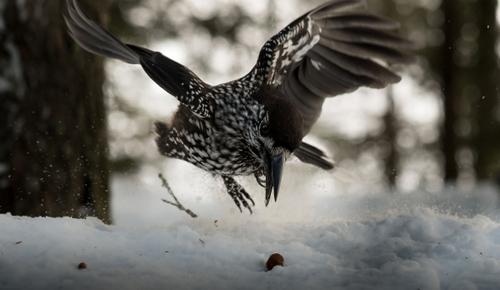 Dank seines exzellenten Gedächtnisses findet der Vogel die Samen im Winter sogar unter Schnee wieder. Image credit: ©Eike Lena Neuschulz