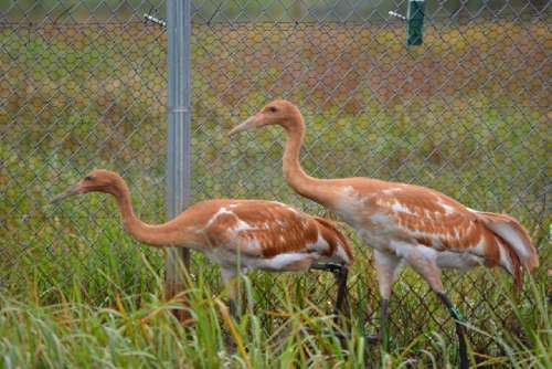 Whooping crane chicks, hatched and raised by their parents at the U.S. Geological Survey's Patuxent Wildlife Research Center in Laurel, Maryland, were released on Necedah National Wildlife Refuge in Wisconsin.  Photo credit: Kara Zwickey, USGS