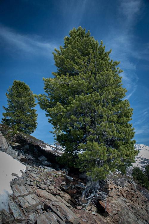 Die Zirbelkiefer bevölkert ein schmales Verbreitungsgebiet zwischen 1.500 m und 2.500 m Höhe in den Alpen. Image credit: © Eike Lena Neuschulz