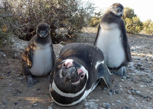 A Magellanic penguin and two chicks. Image credit: U of Washington