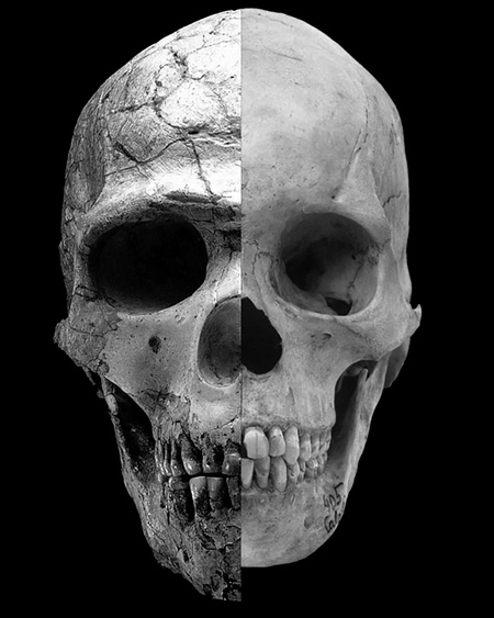 A composite image shows the facial differences between an ancient modern human with heavy brows and a large upper face and the more recent modern human who has rounder features and a much less prominent brow. The prominence of these features can be directly traced to the influence of the hormone testosterone. Photo Credit: Robert Cieri, University of Utah