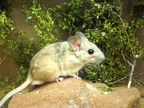 A captive desert woodrat, also known as a packrat, stands on a rock near branches from a toxic creosote bush. A new University of Utah study shows how microbes in the gut play a key role in letting mammals such as woodrats digest and survive on creosote, juniper and other toxic plants. The researchers used antibiotics to kill gut microbes, rendering creosote-eating woodrats unable to digest the plant. They also transplanted feces from woodrats that ate creosote into woodrats that ate juniper. That transplanted fecal gut microbes gave the latter woodrats the ability to digest creosote. Photo Credit: Kevin Kohl, University of Utah