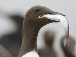 Common Murre on SE Farallon Island eating an anchovy. Photo: Bryan Black/Univ. of Texas at Austin