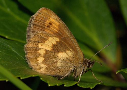 Bis jetzt noch in fast allen Gebirgen Europas zu finden: Der Schmetterling Erebia manto. Image credit:  Kurt Kulac (Source: Wikipedia)