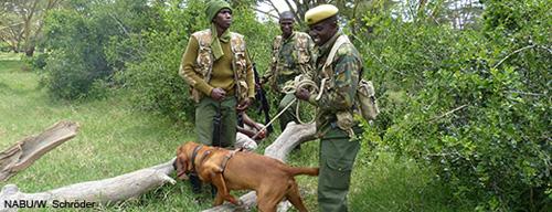 Mit Fährtenhunden wie Philamon können Wilderer aufgespürt und überführt werden. Image credit: NABU.de