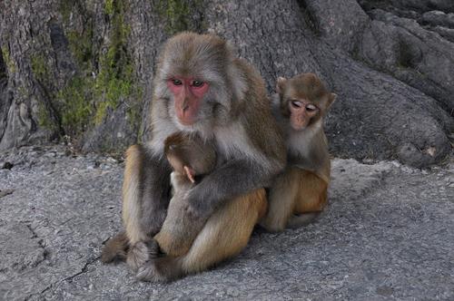 Rhesus macaque monkeys. Image credit: Aiwok (Source: Wikipedia)