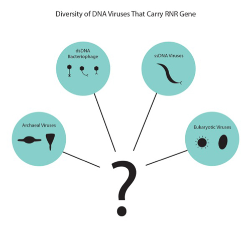 The evolutionary relationships between a broad diversity of DNA viruses can be assessed using RNR gene sequences. Viral groups infecting hosts within different kingdoms of life can be investigated by their RNR gene sequences. Photos and images by Lindsay Yeager