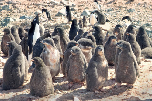 UD researchers have reported a connection between local weather conditions and the weight of Adélie penguin chicks. Photo by Megan Cimino