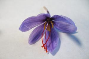 Die roten Fäden, aus denen das Gewürz Safran besteht, stammen von getrockneten Blütenstempeln des Krokus Crocus sativus (Foto credit: Sarah Frusciante).