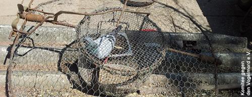 Habicht-Fangkorb mit einer Taube als Lockvogel. Image credit: NABU.de