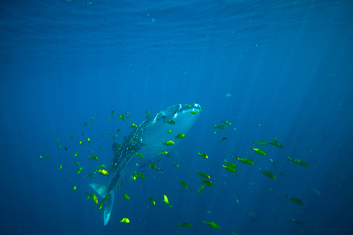 During fieldwork in 2009, the research team found hundreds of juvenile whale sharks gathering on coral reefs near Al-Lith on the central coast of the Saudi Arabian Red Sea. (Photo by Simon Thorrold, Woods Hole Oceanographic Institution)