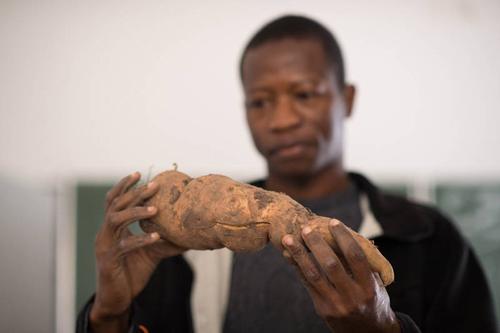 Joseph Korese arbeitet in Witzenhausen an Methoden, die weit verbreitete Süßkartoffel besser zu lagern. Foto credit: Uni Kassel