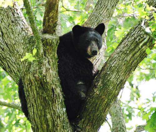 A threatened Louisiana black bear and her cubs up in a tree. Photo credit: Clint Turnage