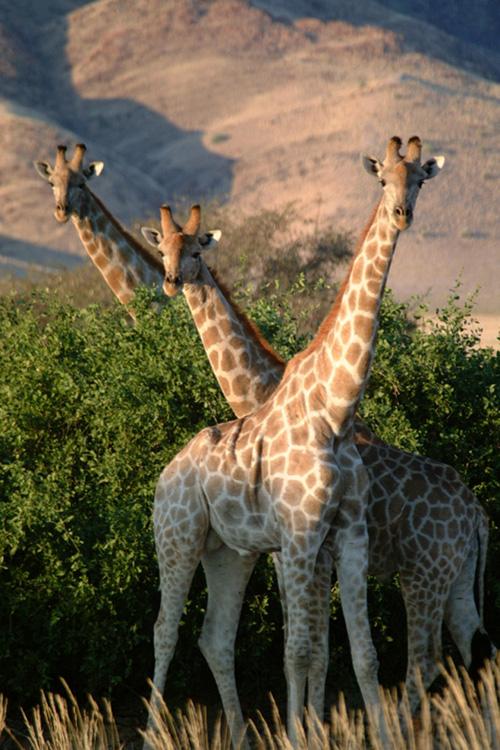 Drei junge, männliche Angola-Giraffen. Photo credit: © Julian Fennessy, GCF
