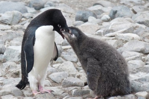 A 7-ounce decrease in chick weight could be the difference between a surviving and non-surviving penguin chick. Photo by Megan Cimino