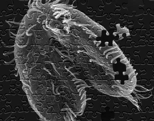 A study led by Princeton University researchers found that the pond-dwelling, single-celled organism Oxytricha trifallax (above) has the remarkable ability to break its own DNA into nearly a quarter-million pieces and rapidly reassemble those pieces when it's time to mate. This elaborate process could provide a template for understanding how chromosomes in more complex animals such as humans break apart and reassemble, as can happen during the onset of cancer. (Image by John Bracht, American University, and Robert Hammersmith, Ball State University)