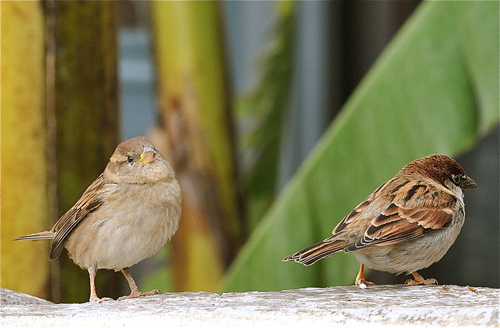The majority of losses are from common species including house sparrows, skylarks and starlings. Photo credit: Claudio Gennari (Source: Wikimedia Commons)