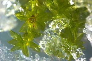 Von Eis bedeckte Moospflänzchen. Foto credit: Anna Beike/Universität Freiburg
