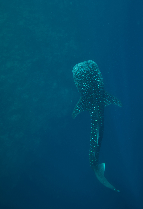 Whale sharks (Rhincodon typus), which grow more than 30 feet long, are the largest fish in the world's ocean. Little is known about their movements on a daily basis or over years. (Photo by Simon Thorrold, Woods Hole Oceanographic Institution)