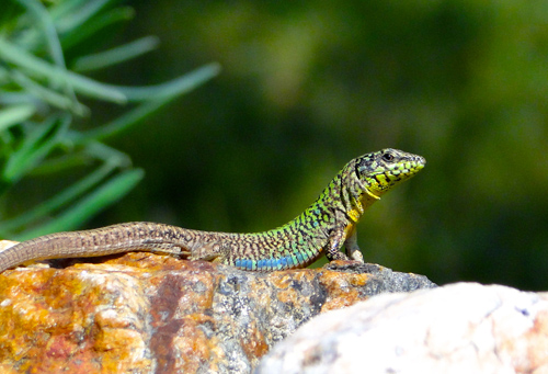 An Aegean wall lizard on the island of Naxos, Greece. Image credit: Johannes Foufopoulos