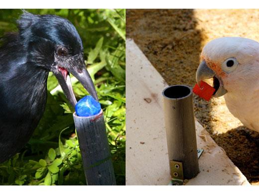 Ein würfelförmiges Spielzeug wird in ein vertikales Rohr gesteckt. Links: Neukaledonische Krähe; rechts: Goffini-Kakadu (Image copyright: Alice Auersperg; Auguste von Bayern, Universität Wien).