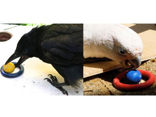 Ein ballförmiges Spielzeug wird in ein ringförmiges Spielzeug gesteckt. Links: Neukaledonische Krähe; rechts: Goffini-Kakadu (Image copyright: Alice Auersperg; Auguste von Bayern).