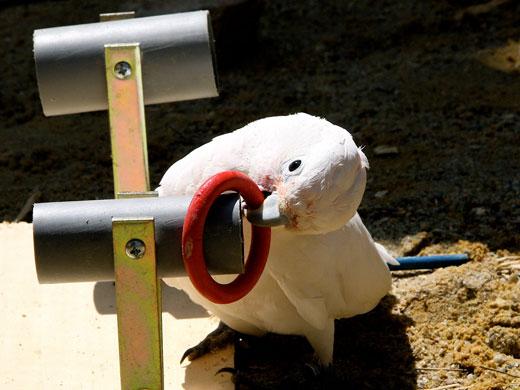Ein Goffini-Kakadu steckt einen Ring über in horizontales Rohr (Image copyright: Alice Auersperg, Universität Wien).